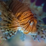The Roar of the Lionfish