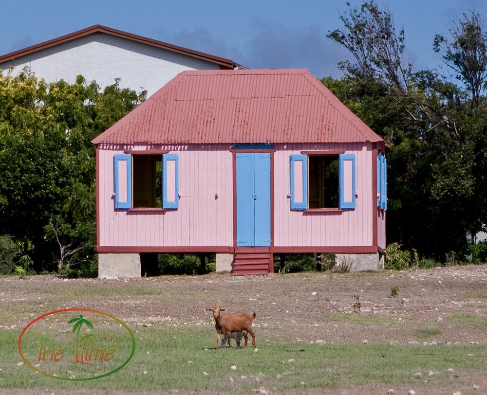 Anguillan Goat