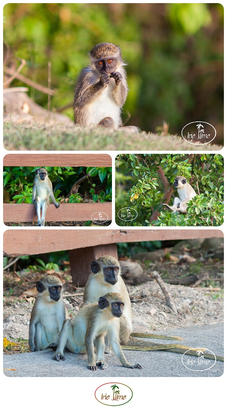 Green vervet monkeys on the island of Nevis