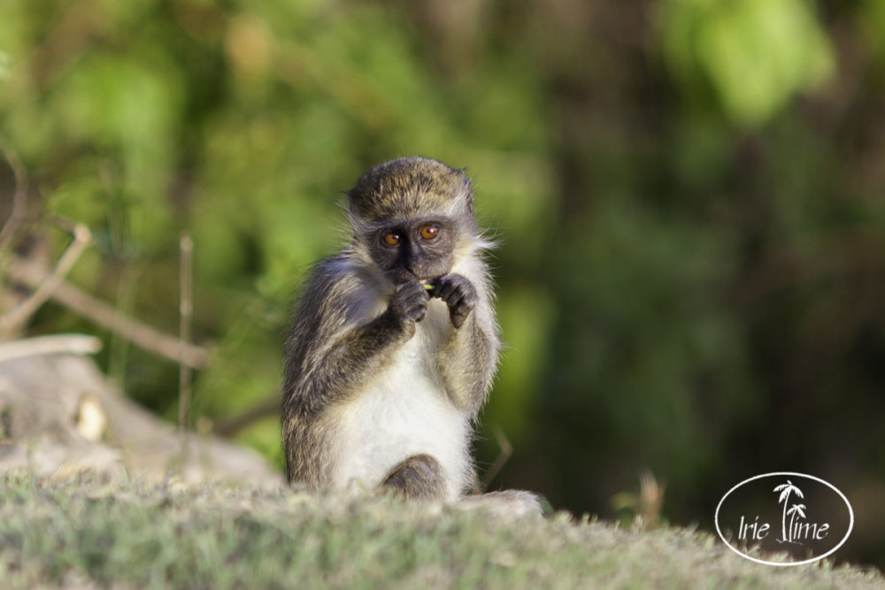 Green Vervet Monkeys Nevis