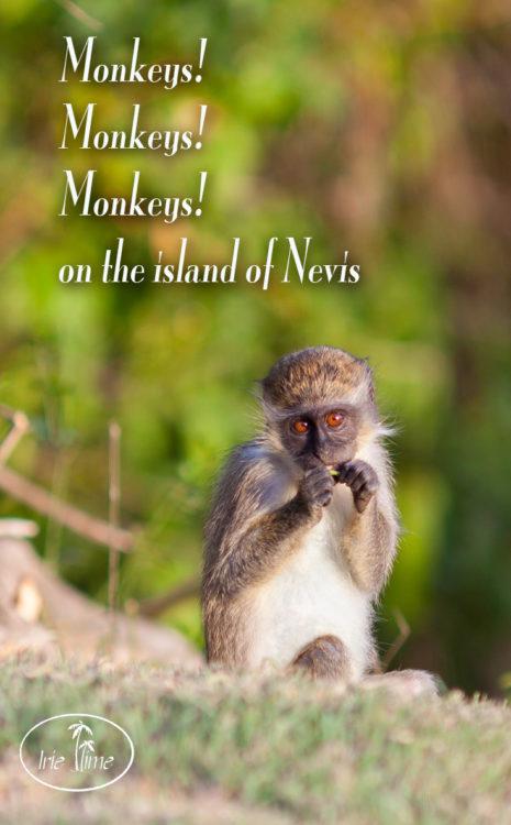 Green vervet monkeys on the island of Nevis! #Nevis #Caribbean #travel